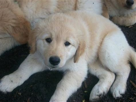 samoyed golden retriever mix golden sammy breed information and pictures