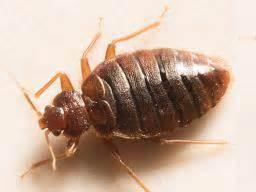bedbugs symptoms treatment  removal