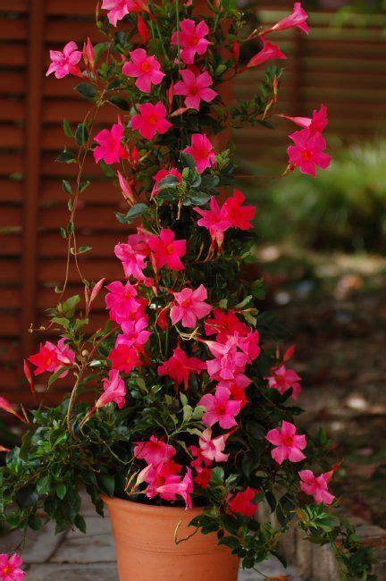 hot pink mandevilla vine images google search melissa