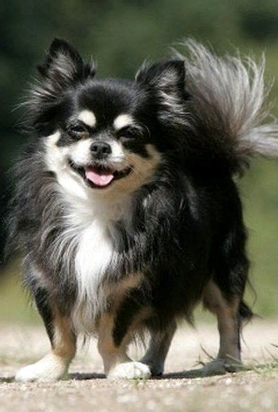 hair chihuahua hair growth what to expect best 25 long hair chihuahua ideas on pinterest long