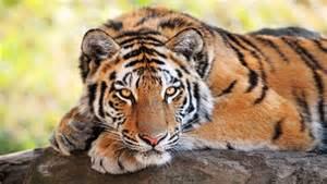 Tiger And Jaguar Environmental News And Information Mnn Nature