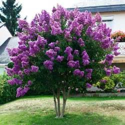 crape myrtle colors catawba crape myrtle gardening brown
