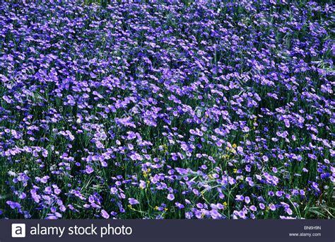 linseed flax agricultural crop blue flower flowers crops stock photo royalty free image