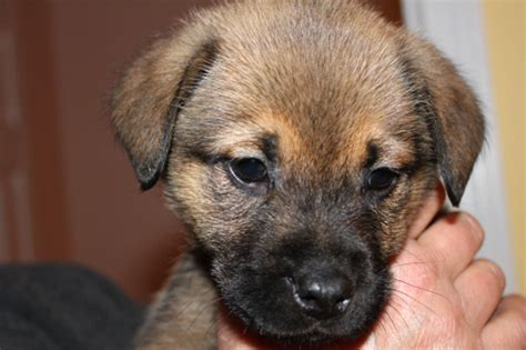 puppy chow mix boxer chow boxer chow chow mix info puppies and pictures