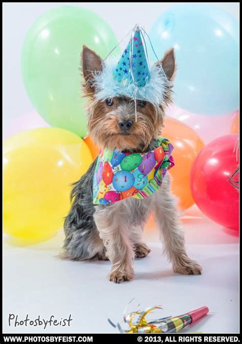 yorkie birthday 17 best images about birthday pets original works on birthday wishes