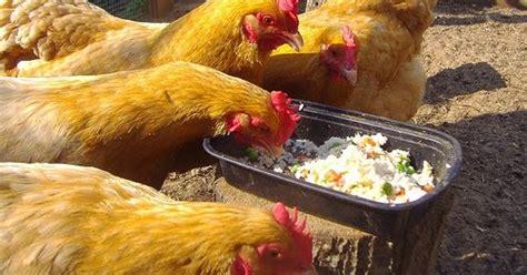 Cairan Fermentasi Pakan Ternak cara membuat dedak fermentasi pakan ternak ayam pakan