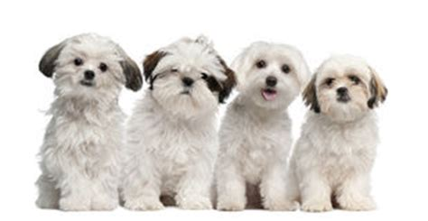 screaming shih tzu of maltese dogs yawning sitting in a row stock photo image 40413917