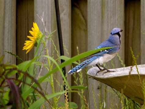 how to attract blue jays to your backyard attracting blue jays to your yard nature photo friday