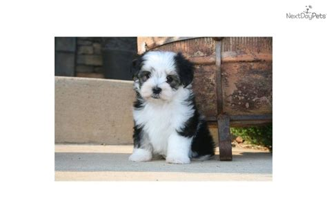 black morkie puppies black and white morkie car interior design