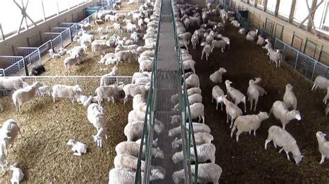 wireless cameras installed  sheep barn wireless