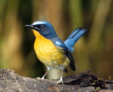 mengenal burung tledekan gunung tips petani