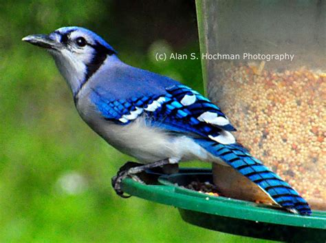 best 28 bird seed for blue jays winsome blue jay bird