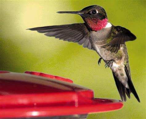 pets spring means yard work for hummingbird watchers