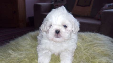 and white shih tzu white all white shih tzu lisburn county antrim pets4homes