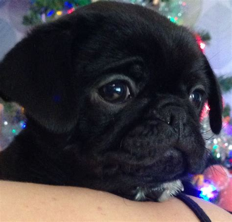 chug puppies black chug puppy for sale 3 4 pug 1 4 chihuahua newport