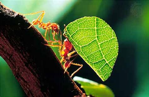 Cutter Ats leafcutter ant insect britannica