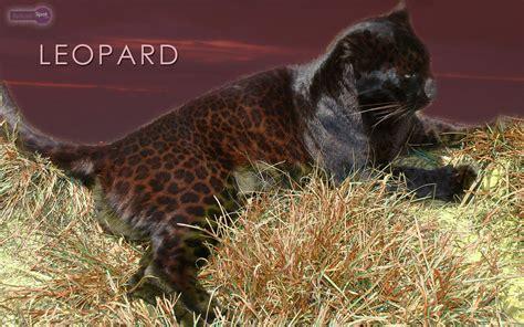 wallpaper black leopard leopard wallpapers animal spot
