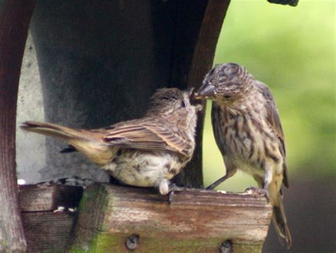 house finch fledgling september s young birds fledgling house finch judy