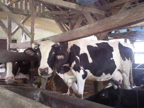 Bibit Sapi Perah Fh la farm sapi perah fh