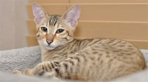 super savannah cat breed cool cat tree house