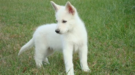 white german shepard puppy white german shepherd puppies in virginia myideasbedroom