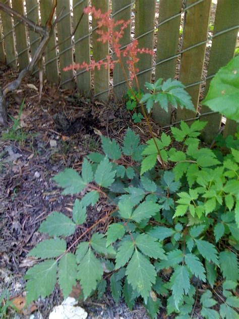 poisonous backyard plants identification what are these viny plants are they