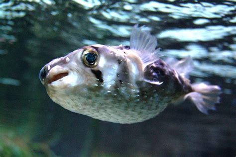 imagenes de animales venenosos porcupinefish wikipedia