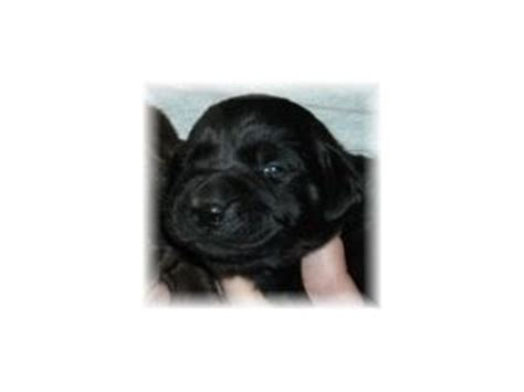 lab puppies for sale in maine labrador retriever puppies in maine