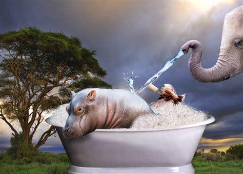 hippo in my bathtub hippo in bathtub by agnatha3141 on deviantart