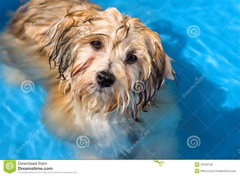 havanese water havanese puppy is bathing in a blue water pool stock photo image 43150148