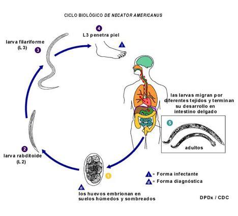 cadena epidemiologica trichuris trichiura helmintos november 2011