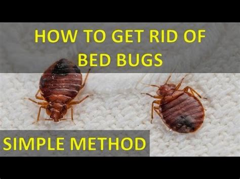 rid  bed bugs   salt permanently fast  easily youtube