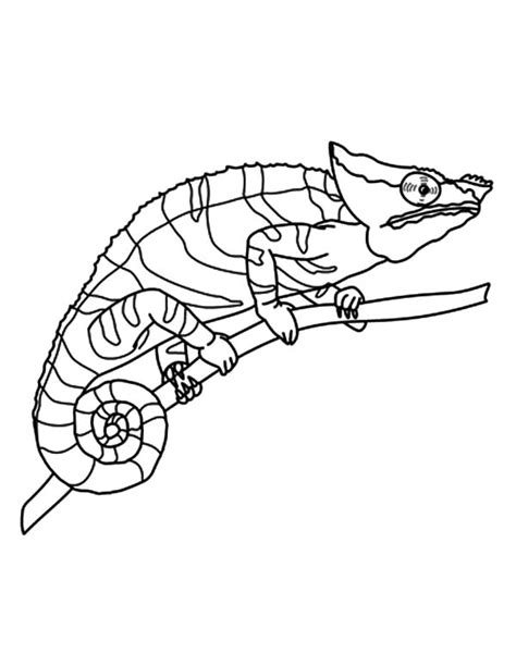 How To Draw Chameleon Coloring Pages Best Place To Color Chameleon Coloring Page