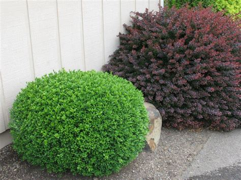 boxwood winter gem evergreen shrubs for sale garden