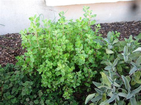 herb garden plants herbs a round rock garden