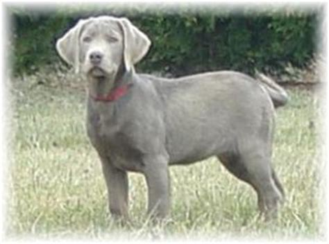 silver lab puppies for sale in alabama ellendale labradors akc silver charcoal black yellow