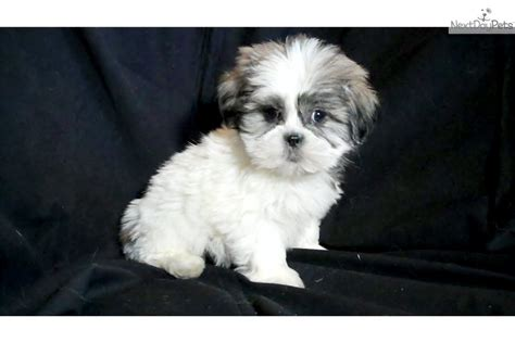 shih poo puppies for sale in michigan shih poo shihpoo puppy for sale near flint michigan 59bcbc87 c831