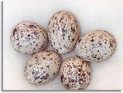 house sparrow eggs southeastern outdoors house sparrow