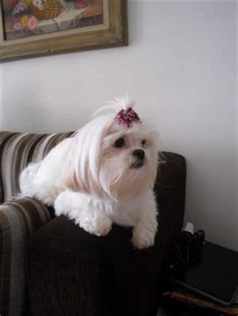 shih tzu age calculator 1000 images about lhasa apso on lhasa apso lhasa and age calculator