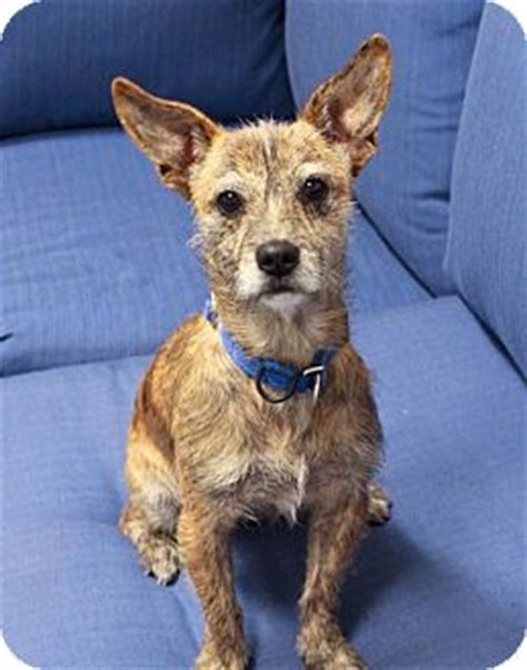 Do Parson Terrier Shed by Cari I Do Not Shed Adopted Los Angeles Ca