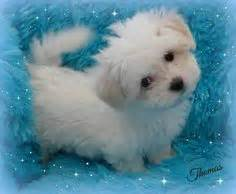 yorkie bichon puppies for sale in wisconsin teddy puppies for sale in wisconsin tiny and teacup teddy puppies