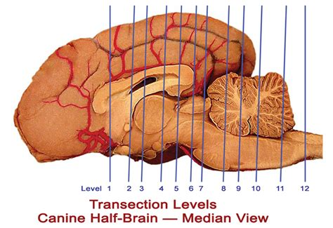canine brain tutor home