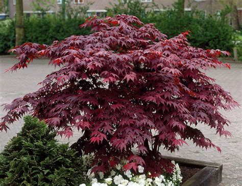 japanese maple bloodgood 10 quot pot hello hello plants garden supplies