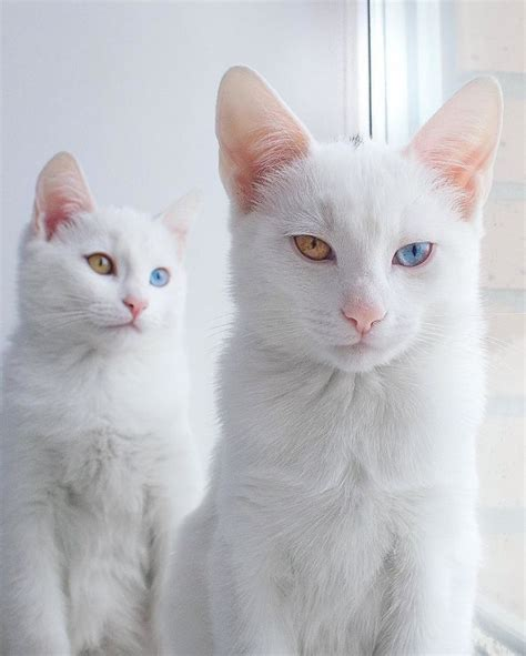 twin cats twin white cats born with heterochromatic two different