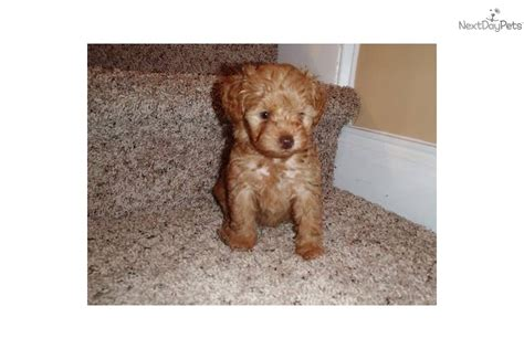 yorkie puppies wilmington nc yorkiepoo yorkie poo puppy for sale near wilmington carolina 75b5ec58 ebb1