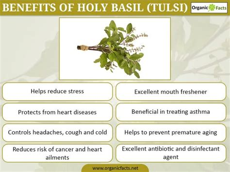 Curry Leaf Plant Diseases - 15 amazing benefits of holy basil tulsi organic facts