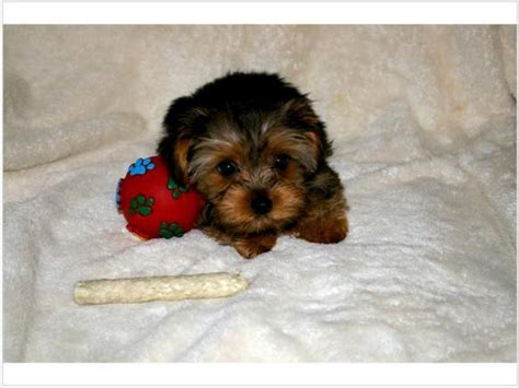 free yorkie puppies in alabama and yorkie puppies for adoption pets for free adoption ras al khaymah