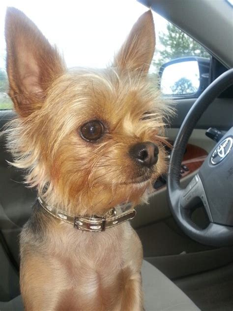chorkie hair 24 best images about i love my chorkie on pinterest