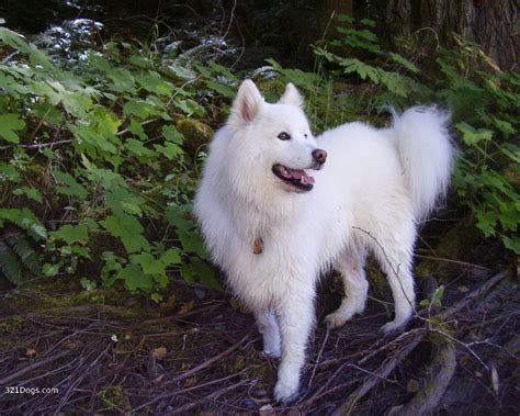 breeds that look like wolves what breed looks more like a wolf to you poll results wolves fanpop