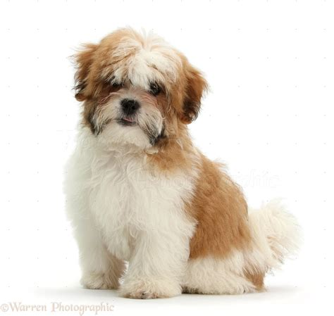 shih tzu shoo maltese x shih tzu pup photo wp35247